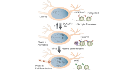 HSV Phase I and phase II of reactivation