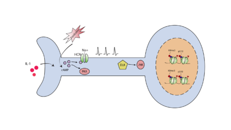 HSV reactivation in response to neuronal hyperexcitability and IL-1